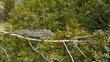 Camaleon cazando en el boj