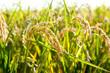 Leinwandbild Motiv Cereal rice fields with ripe spikes