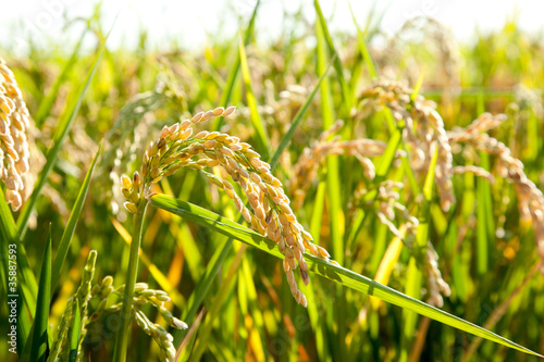 Cereal rice fields with ripe spikes - 35887593