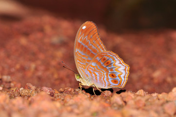 Royal assyrian butterfly