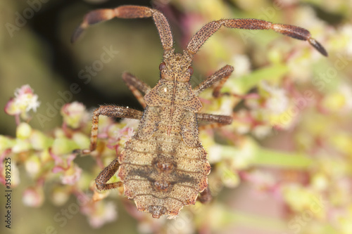 Dock bug (Coreus margniatus) nymph