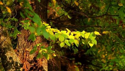 Ветка с желтыми и зелеными листьями-осень