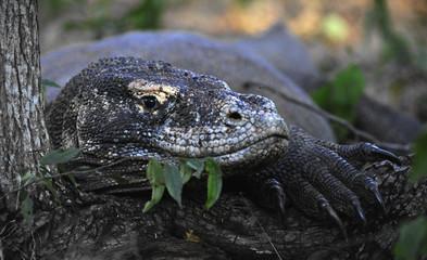 Close-up of Komodo dragon