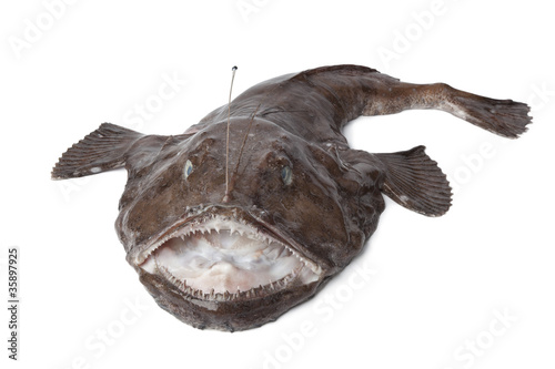 Whole fresh Monkfish