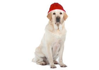 labrador triste avec son bonnet rouge