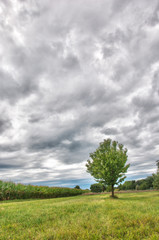 Corn Field and Tree