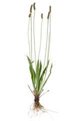 Plantain ( Plantago )