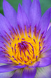 Colorful purple water lily in macro shot