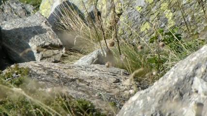 Marmotta che scappa