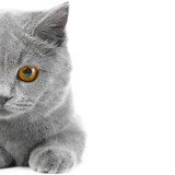 Fototapeta niebieski - brytyjski - Zwierzę domowe