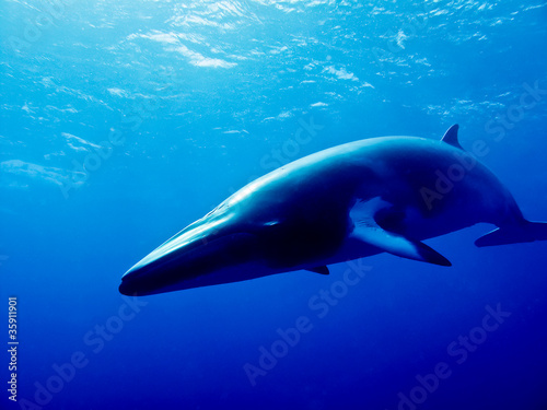 Minke Whale - 35911901