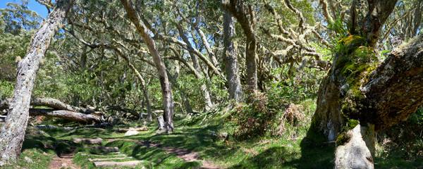Forêt de Tamarins des Hauts - Mafate - Réunion