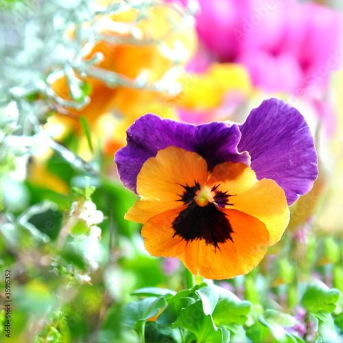 Staande foto Pansies Stiefmütterchen im Garten