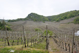 vineyard in the Vulkan Eifel poster
