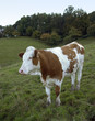 brown and white skewbald cow out at feed