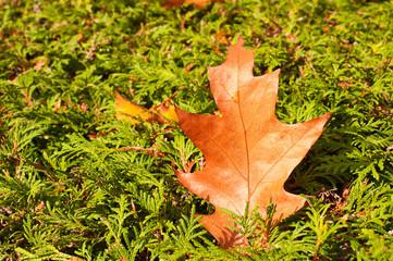 Ein Eichenblatt liegt auf einer Tuja-Hecke