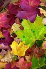 Farbenfroher Herbst, buntes Ahornlaub, Herbstfärbung