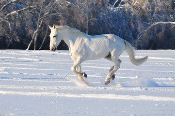 white horse in winter field