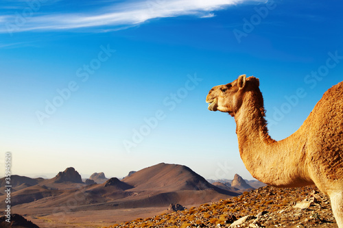Foto Spatwand Algerije Camel in Sahara Desert