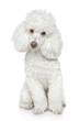White Toy poodle on white background