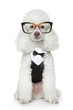 Funny Toy Poodle in a tuxedo and glasses