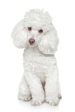 White Toy poodle on white background - 35948571