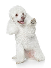 White Toy Poodle gives that a paw