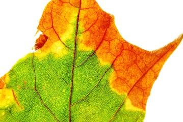 Herbst - Blatt  - Verfall