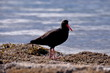 The Oystercatcher Bird.