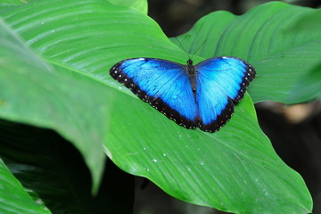 Posing Blue Morpho Butterfly