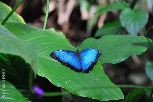Common Blue Morpho Butterfly,aka,Morpho peleides