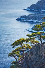 beautiful evergreen cedar