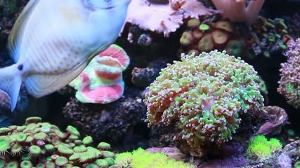 Marine aquarium - surgeonfish
