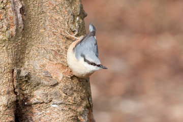 Nuthatch (sitta europaea) on tree trunk, Bowland, Lancashire