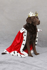 Brauner Labrador als König verkleidet