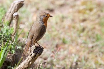 robin (erithacus rubecula) on branch, Rufford, Lancashire