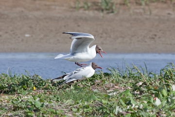 Black-headed gull displaying, Marshside, Lancashire