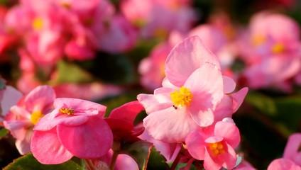 ピンクのベゴニア