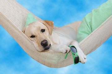Labrador dolce far niente