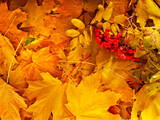 Background group autumn orange leaves.