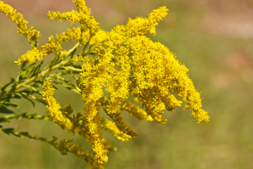 Goldenrod in Autumn Garden