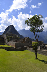 Tree on the Machu Picchu site with Huayna Peak