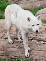 Arctic Wolf Standing on Rocks