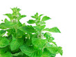Fresh-picked mint leaves