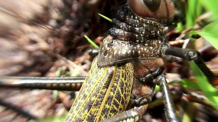 African locust