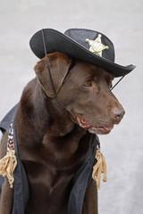 Labrador als Sheriff verkleidet