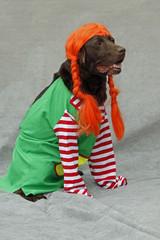 Labrador als Pipi Langstrumpf verkleidet