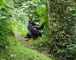 Mountain Gorilla in the cloud forest