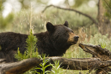 Black Bear in the wild, in Yellowstone National Park