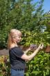 Attractive blond woman picking raspberries